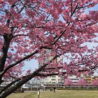清水駅近くの公園の河津桜その3 (2017年2月18日)