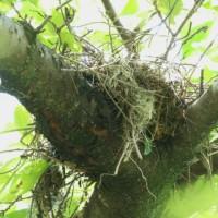 ツミの巣?