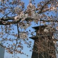 2017年4月3日(月)新川の桜の開花状況を体感しながら散歩です。