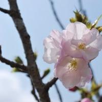 針木の桜吹雪