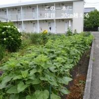 北海道中札内ダム産ひまわりが今年も咲いた! 続編