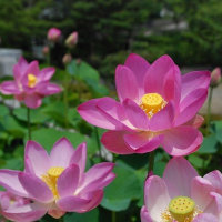 6月23日(金曜日)「古代蓮」(あかねこさん)
