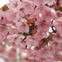 河津桜と口笛コンサート♬