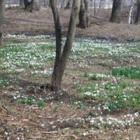 三毳山の春アヅマイチゲ