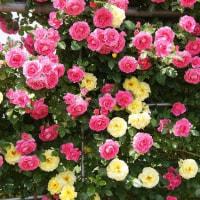 金澤園芸のバラ