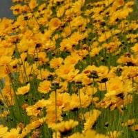 通勤路に黄色の花がいろいろ