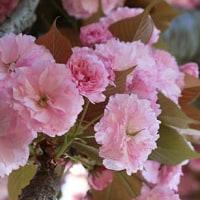朝のウォーキングで見付けた八重桜たち