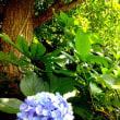 そろそろ紫陽花の季節も終わりかな。