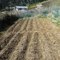 ジャガイモ植え完了