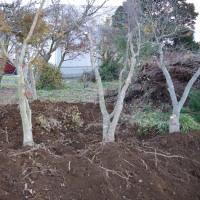 モミジ掘り取る師走の畑です