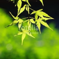fotolia:「緑鮮やかなモミジ」