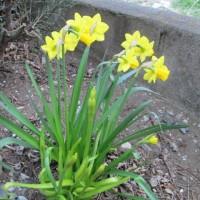 得意の寄り道です。水仙が開花しました。