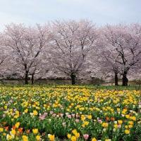 埼玉県の桜2017