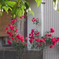 成長して、隣に進出中の薔薇。