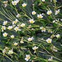 醒井の梅花藻