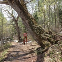 笹ヶ峰の奥、夢見平への道:2本のミズナラの巨木を見ました。