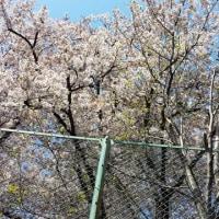 桜花は散り際が良い・・・