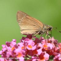 チャバネセセリ(蝶)