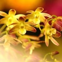 蘭 (花 4247)