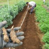 京都のブランド力にあやかった京イモことタケノコ芋を植えた
