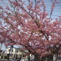 作新台の河津桜