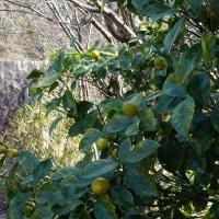 柑橘類の肥料のやり方