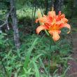 軽井沢の山荘の庭で7月下旬に咲く花