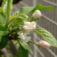 我が家の花≪リンゴ編≫