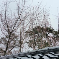 金沢寺町の寒桜