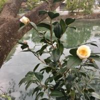 生姜の花と椿