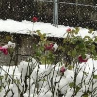 雪中のソフィーローズ
