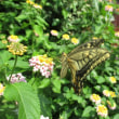 キアゲハ蝶の世界ー4
