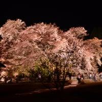 南阿蘇村・一心行の大桜2017  ライトアップ