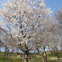 サクラ品種:花筺桜(ハナガタミザクラ)