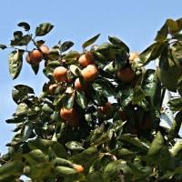 歩道脇の「柿の木」