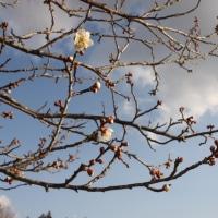 ようやく梅の花が・・・・・