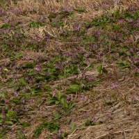 速報:鉛のカタクリ開花状況(4/27)
