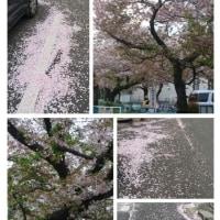 桜も終わりです・・・!