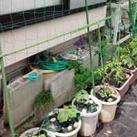 今年の我が家の菜園事情