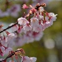 こんな所に蜂須賀桜が