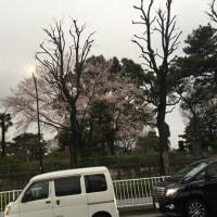 昨日、東京に行った時、桜咲いていました。