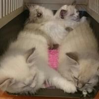 子猫の予防接種と隣の家の滞在者