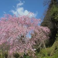 4月27日(木曜日)「紅枝垂れ桜」(ピエロ)
