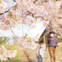 桜さくらサクラsakura。