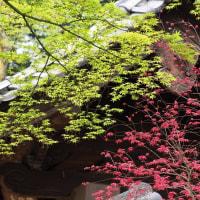 緑の若葉と赤の若葉