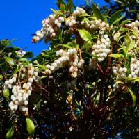 『春の花』 馬酔木