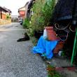 昨日、うちの猫小屋の壁面で、クマゼミさんが、羽化したよ~♪