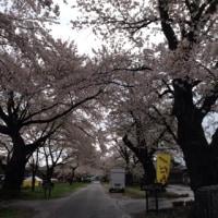 桜まつり  松ヶ岡  4/23