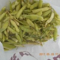 今日の収穫 タマネギ ニンニク ソラマメ ニラ マメ類 イチゴ