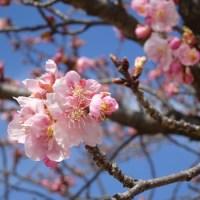 伊勢崎市民の森 河津桜2017(その3)とメジロ